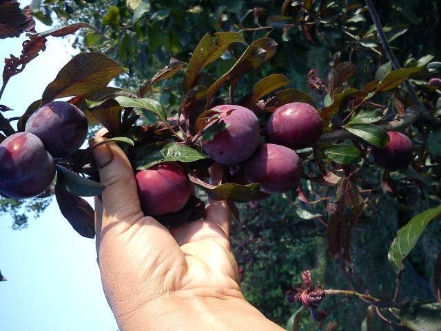 О алыче лама: описание и характеристика сорта, опыление листа, выращивание