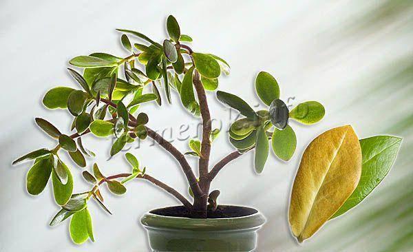 Почему у растений скручиваются листья и что нужно делать?