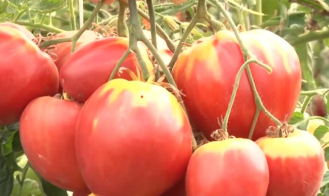Томат Сахарная Настасья: отзывы, фото, урожайность