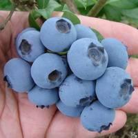 Голубика садовая норд кантри. краткий обзор, описание vaccinium corymbosum north country