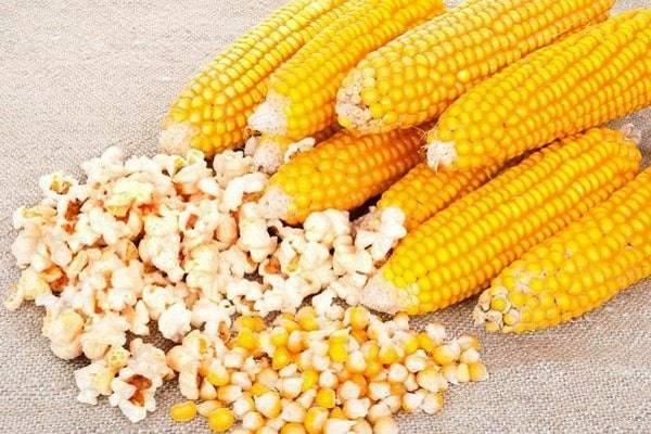 Сорт кукурузы для попкорна: название 7 лучших и особенности выращивания, как растет