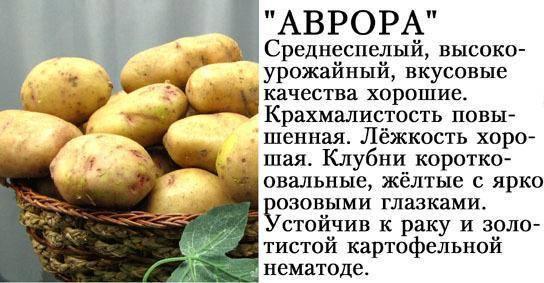 Картофель аврора: описание и особенности выращивания сорта