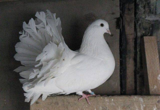 Голуби павлины: фото и видео, разновидности, разведение