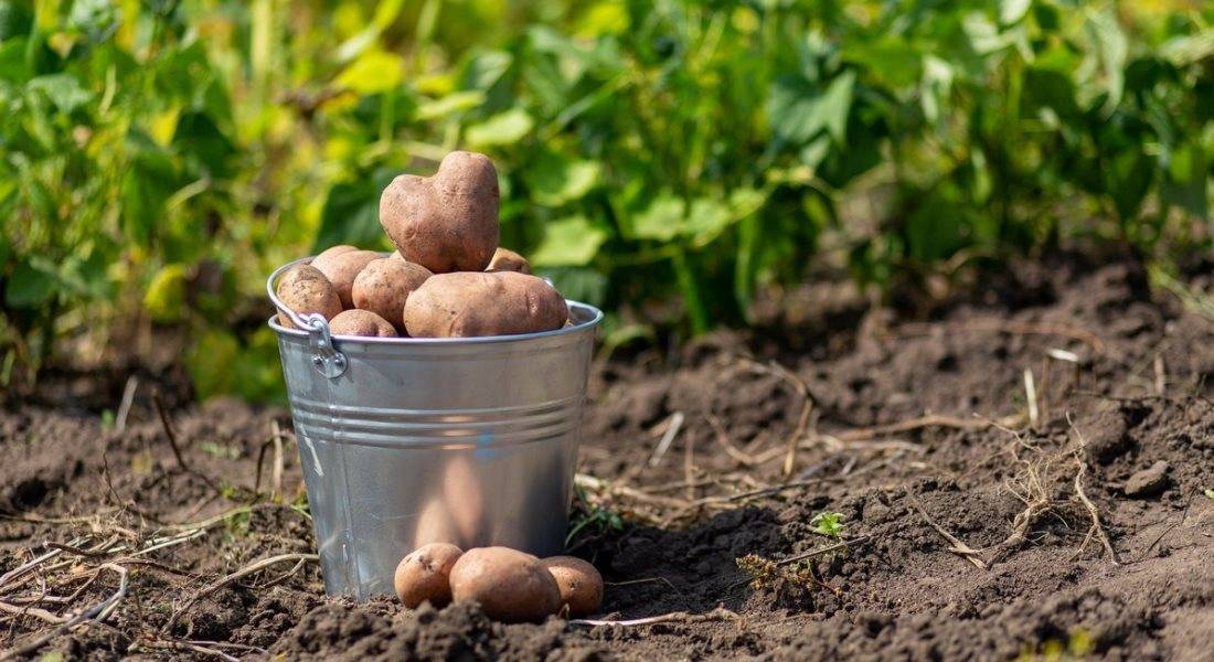 Когда копать картофель после цветения на участке
