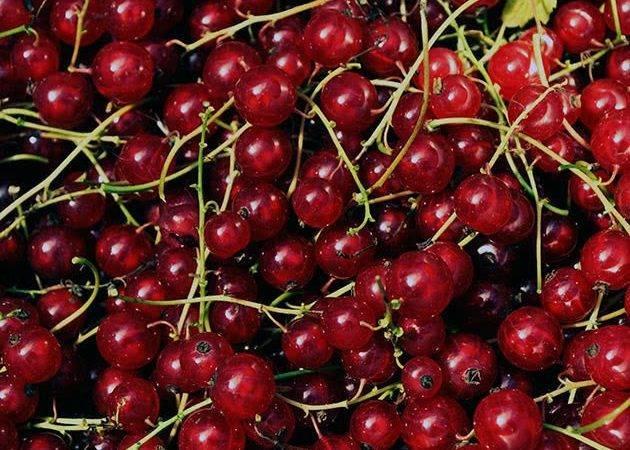 Красная смородина: посадка, выращивание и уход