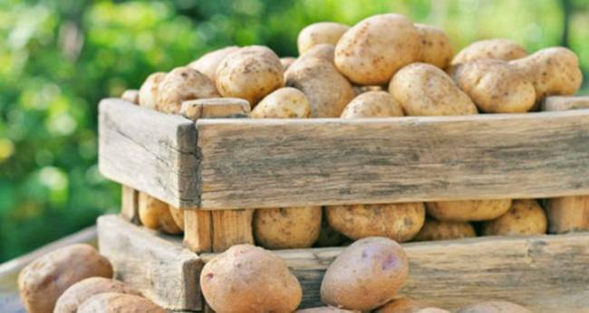 Когда и как можно копать молодую картошку