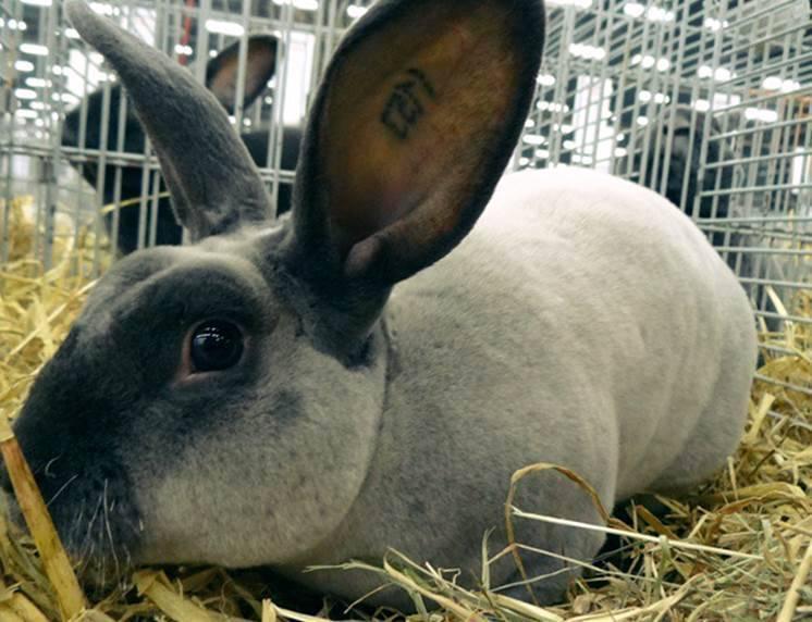 Породы карликовых домашних кроликов с описанием и фото