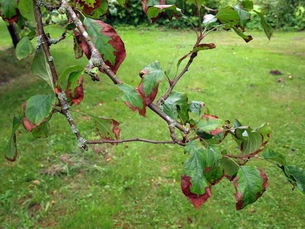 Груша засохла: почему и что делать. какие методы и средства применить против высыхания груши: быстро помоги дереву!