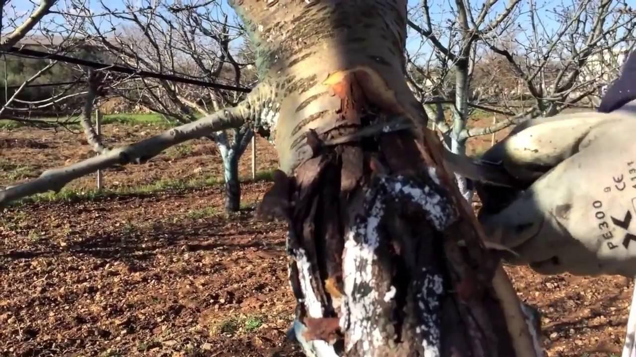Лопнула кора на черешне: что делать и как лечить дерево