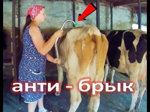 Как отучить корову бодаться