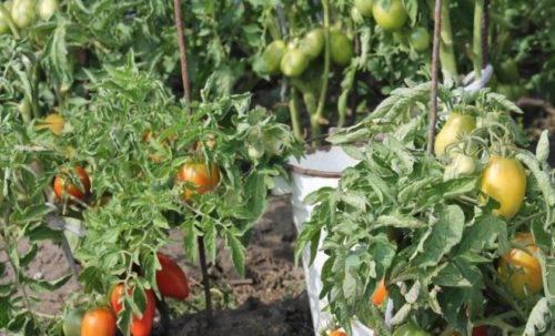 Томат «буян  (боец)»: описание сорта, особенности выращивания и ухода