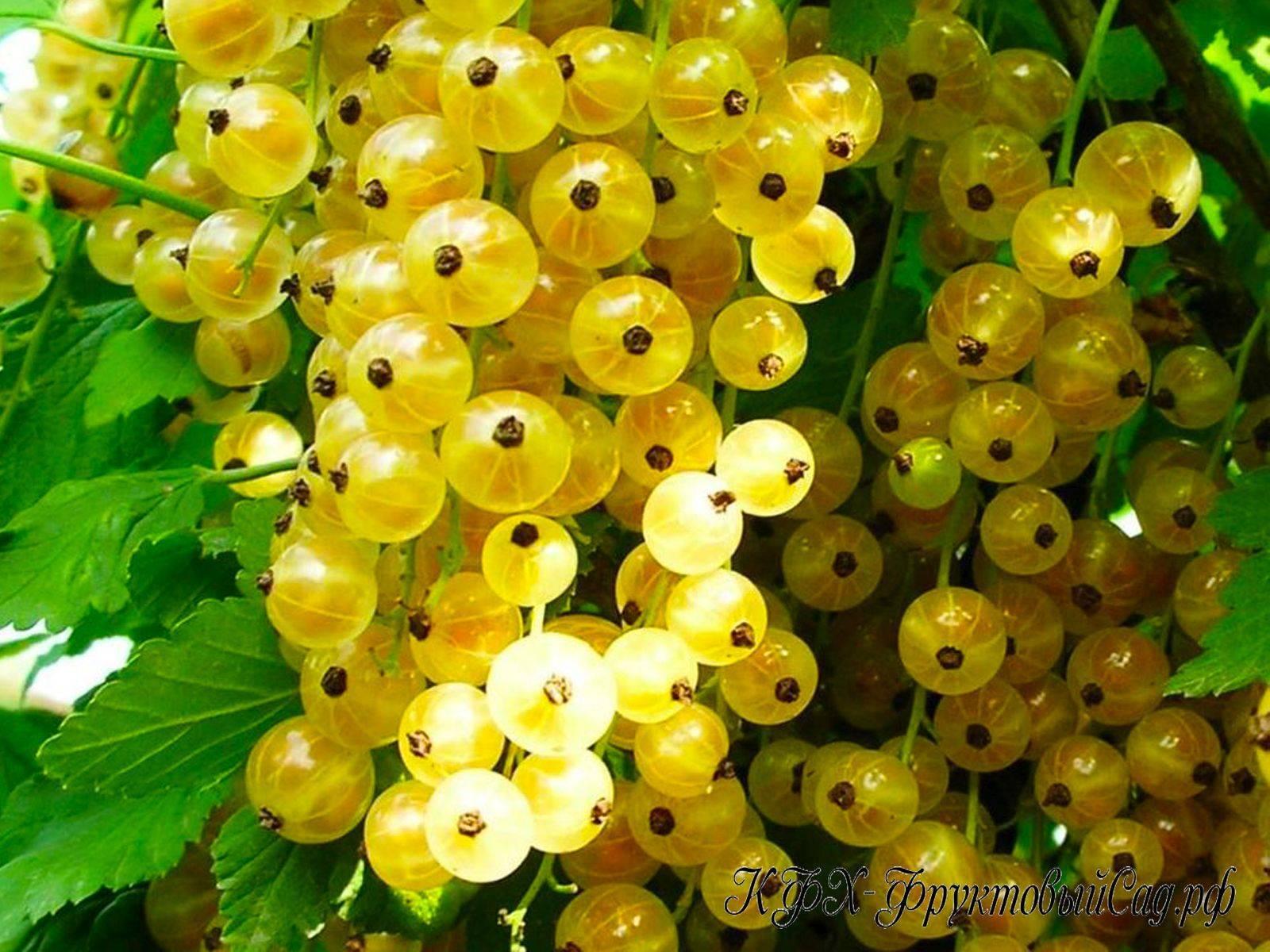 Урожайный сорт смородина белая версальская описание уход
