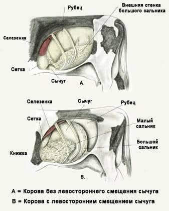 Анатомическое строение скелета коровы, особенности внутренних систем и органов
