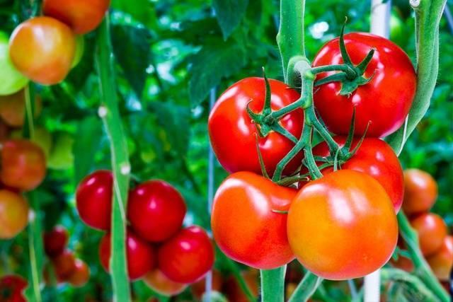 Как правильно формировать томаты в теплице и открытом грунте