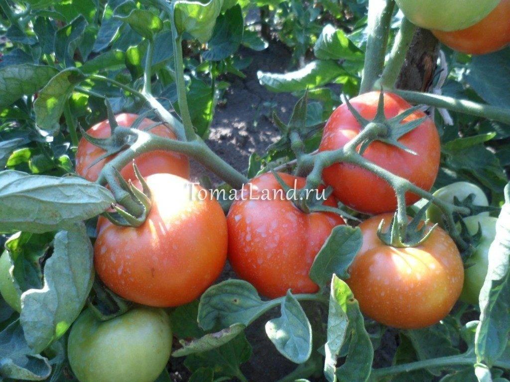 Помидор Санька: отзывы, фото, урожайность
