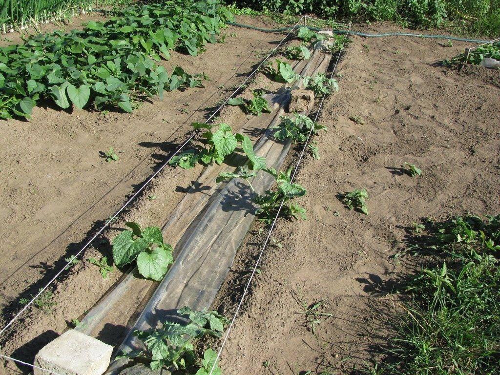 Легкий способ как выращивать дыни в теплице, в средней полосе, в сибири и урале