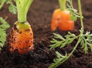 Чем подкормить свеклу и морковь для роста? чем подкормить свеклу, чтобы она была сладкая?