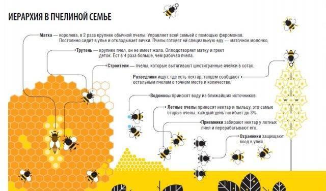 Пчелиная матка: как выглядит, роль в пчелиной семье, жизненный цикл и описание (135 фото и видео)