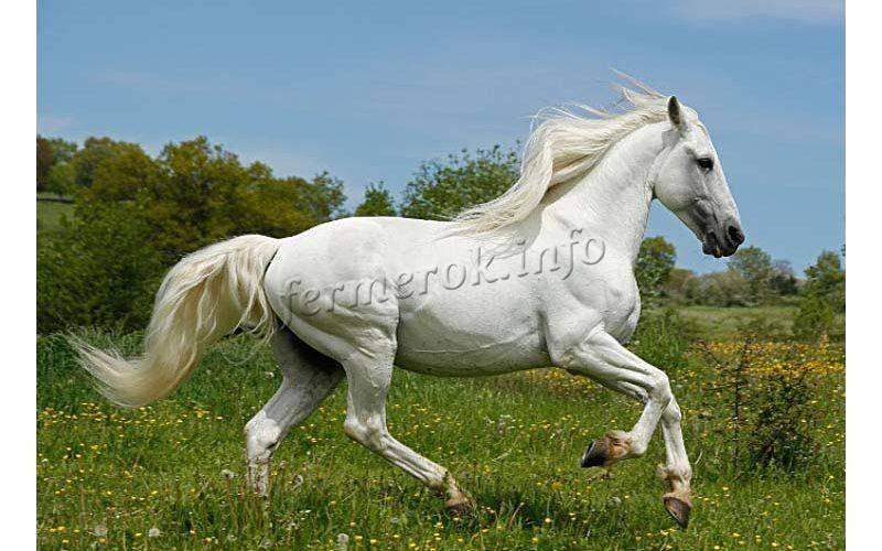 Андалузская лошадь – грациозная испанская порода 2020