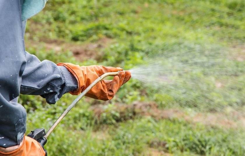 О сорной траве американка: как выглядит, свойства, как избавиться на участке