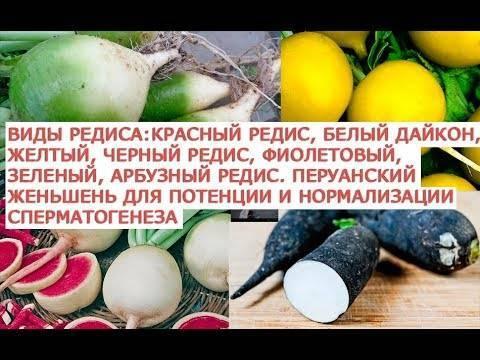 Редька: калорийность, польза и вред, рецепты для похудения