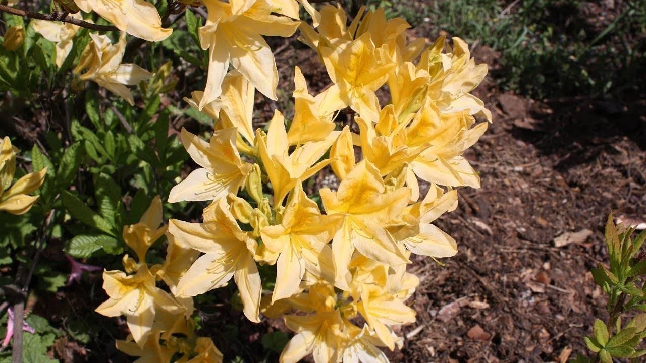 Азалия или рододендрон – условия выращивания, уход и размножение | faterra.com