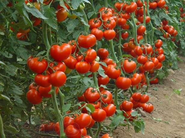 Схема посадки высокорослых томатов в теплицы: как вырастить помидоры в таких условиях, а также существующие сорта и виды розового и красного овоща