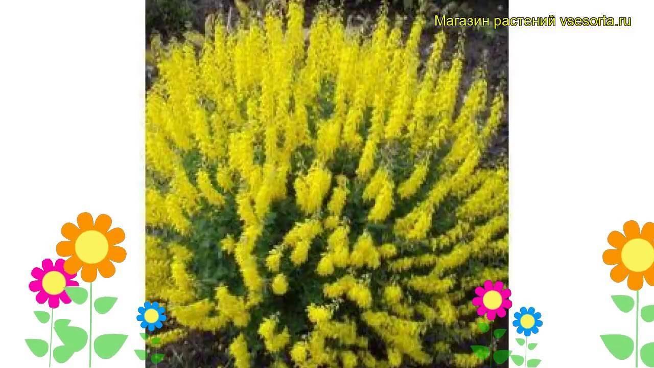 Ракитник: выращивание в саду, виды и сорта
