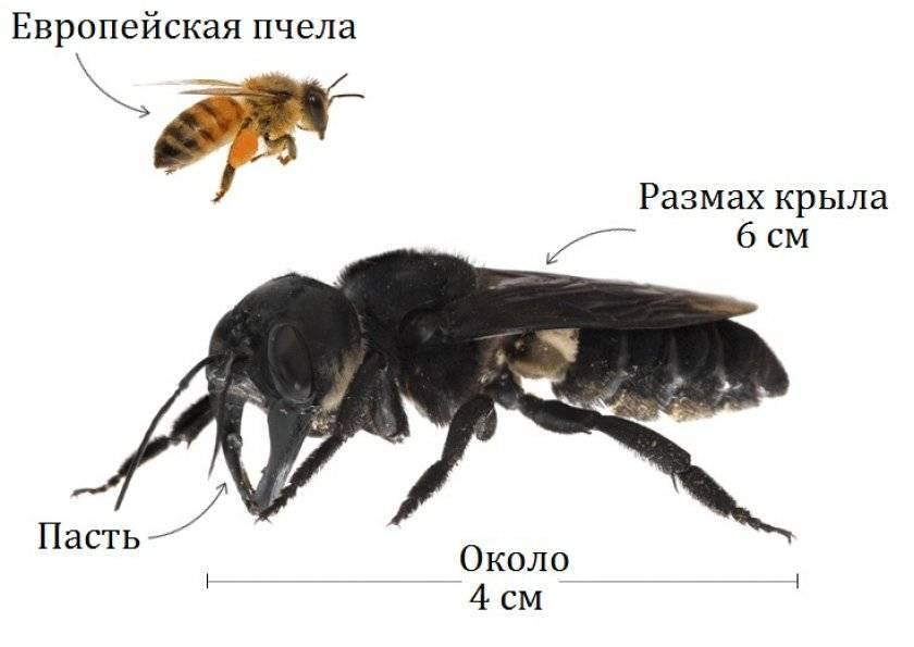 Виды пчел: обзор популярных пород