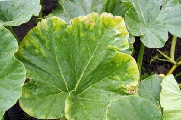 Выращивание тыквы. рассада тыквы - уход, болезни и вредители