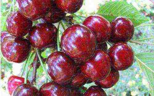 Описание сортов чёрной вишни