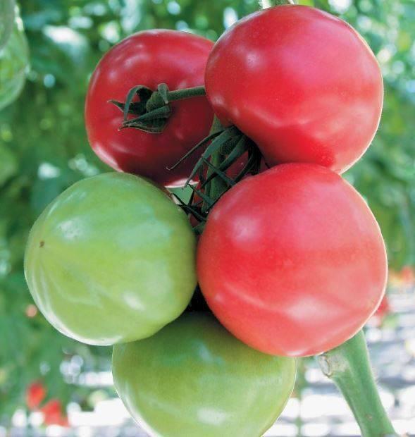 Азиатский сорт с божественным вкусом — томат пабло f1: подробное описание помидоров