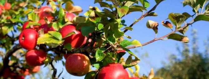 Особенности и правила посадки яблони осенью в ленинградской области