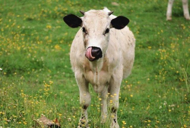 Причины запора у теленка