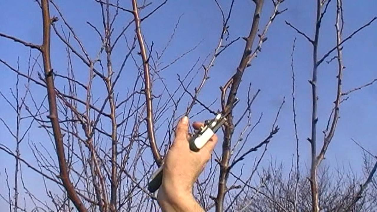 Все нюансы обрезки сливового дерева