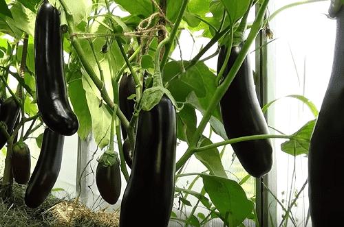 Рассада баклажанов в домашних условиях: правила выращивания и ухода