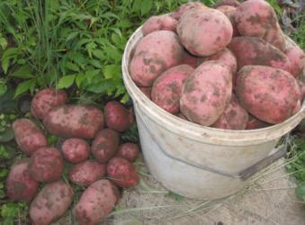 Какие сорта картофеля можно выращивать в сибири?