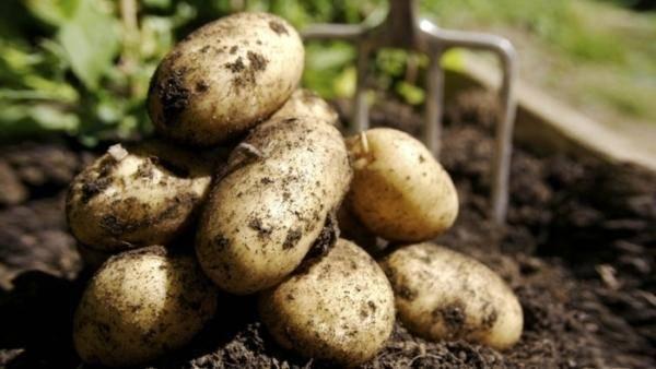 Сорт картофеля «смуглянка»: характеристика, урожайность, отзывы и фото