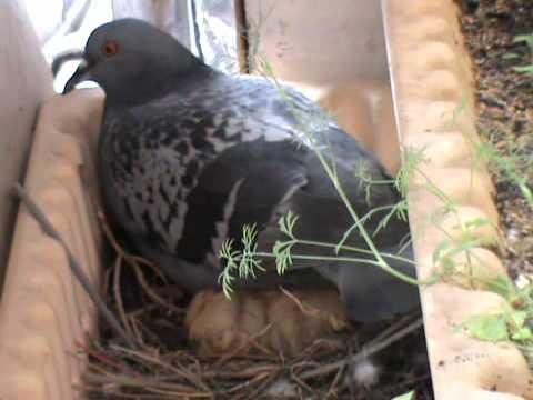 Что едят уличные голуби и как кормить птиц в домашних условиях?