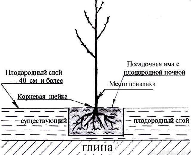 Как посадить сливу весной: пошаговое руководство
