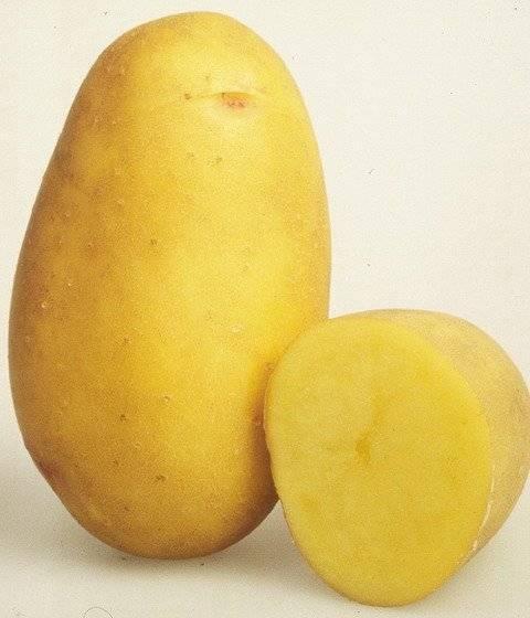Сорт картофеля «колетте»: характеристика, описание, урожайность, отзывы и фото