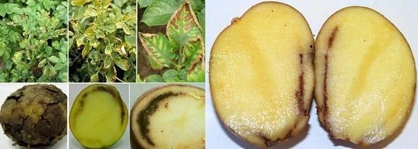 Сорт картофеля удача: описание, характеристики, фото, отзывы