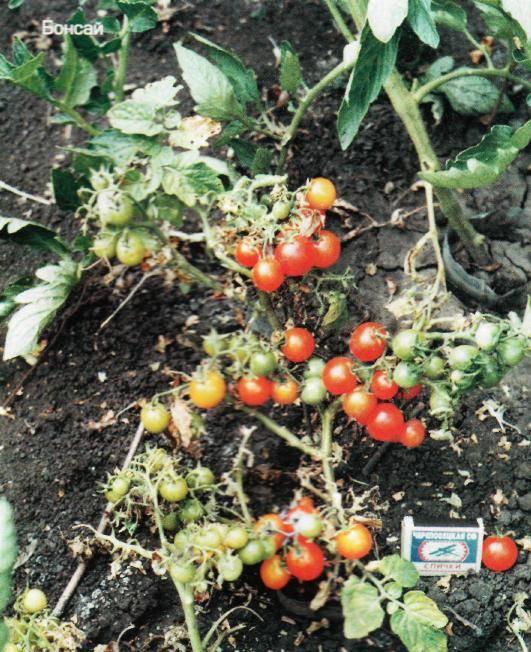 Помидоры «линда»: описание, агротехника выращивания