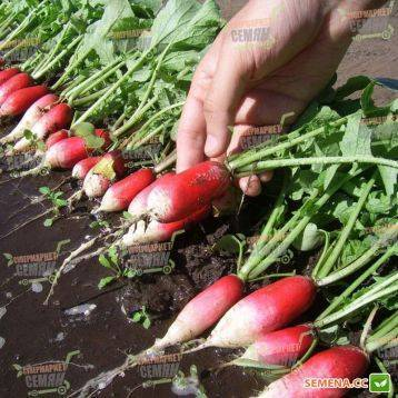 Редис французский завтрак: описание сорта, фото, отзывы, выращивание в открытом грунте