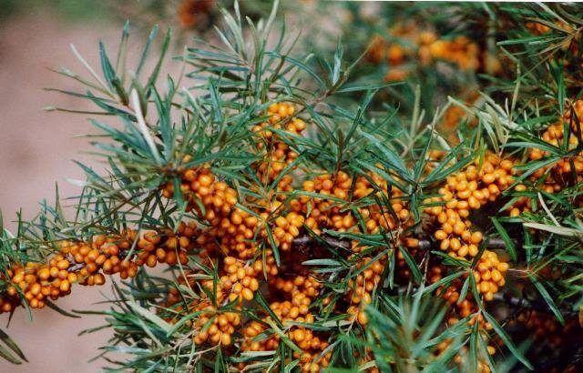 Профилактика листьев облепихи от заболеваний и как вылечить растение