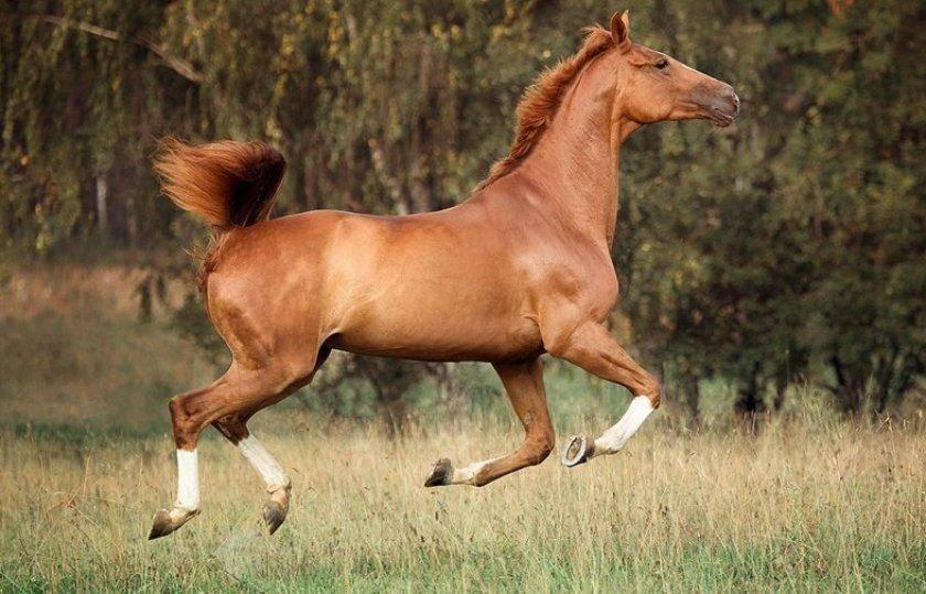 Тракененская порода лошадей: описание породы, содержание и уход