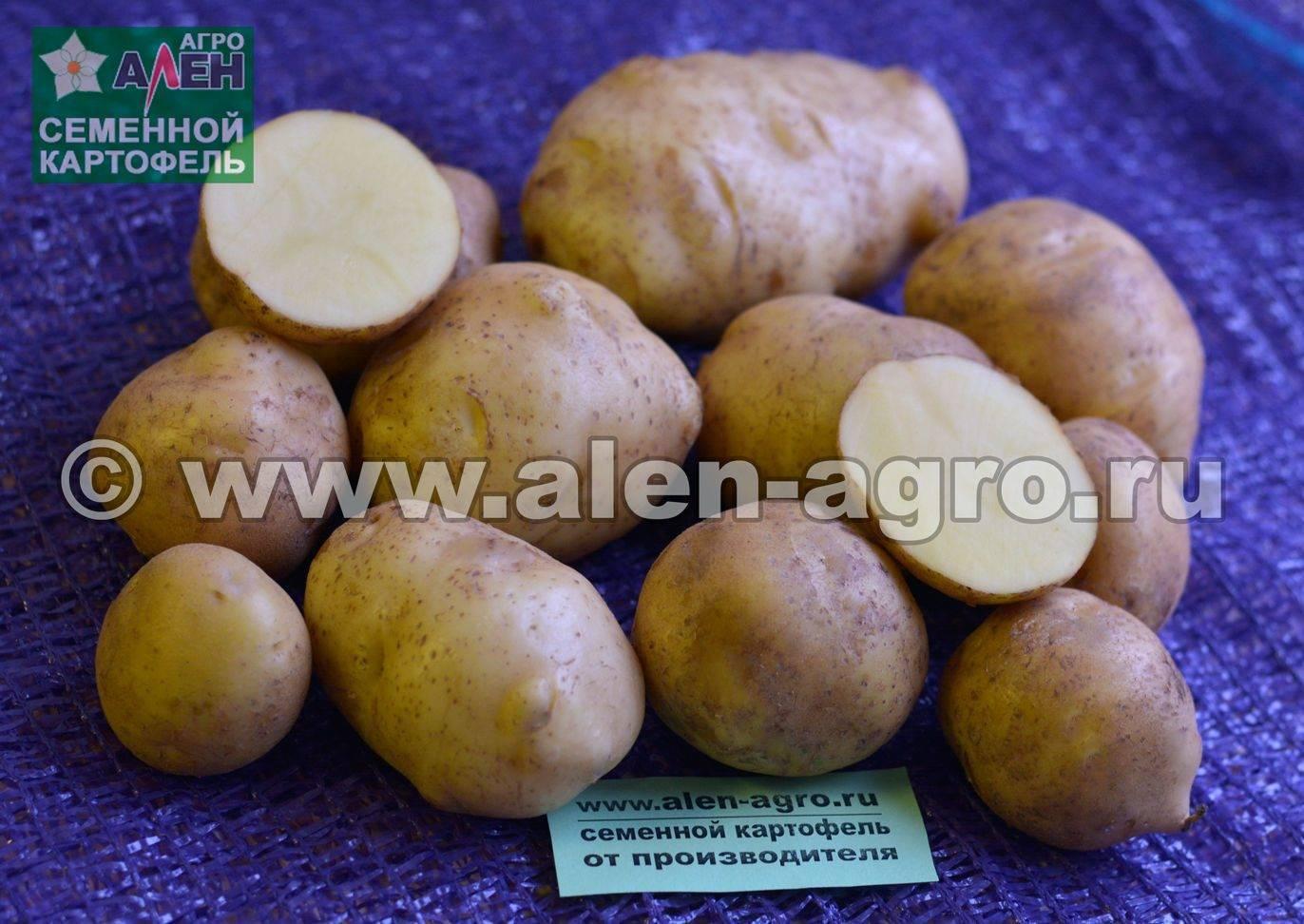 Картофель русской селекции – колобок. основное о корнеплоде: положительные и отрицательные стороны
