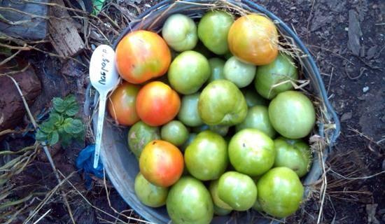 Томат «лабрадор» - описание сорта, фото, отзывы садоводов
