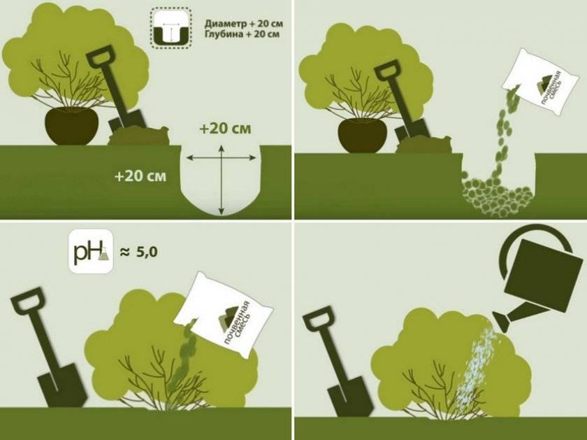 Как посадить и вырастить ракитник на своем участке