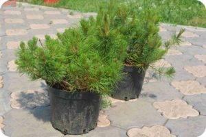 Сосна чёрная орегон грин (pinus nigra oregon green)